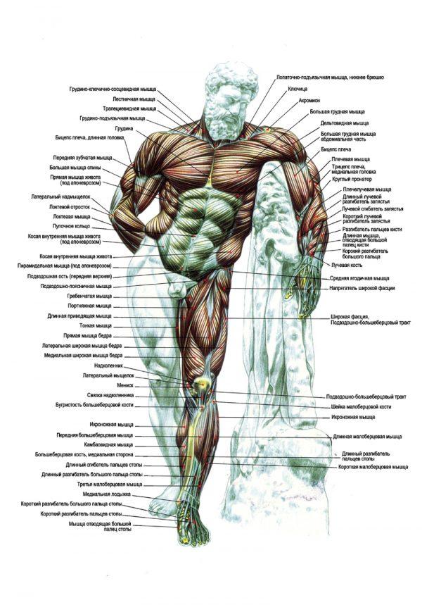 Плакат мышцы (Геракл) вид спереди