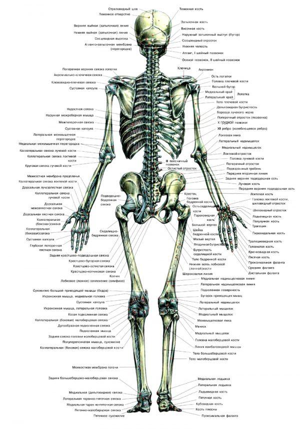 Плакат скелет человека вид сзади