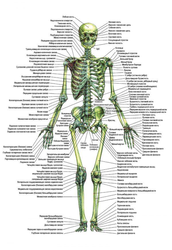 Плакат скелет человека вид спереди