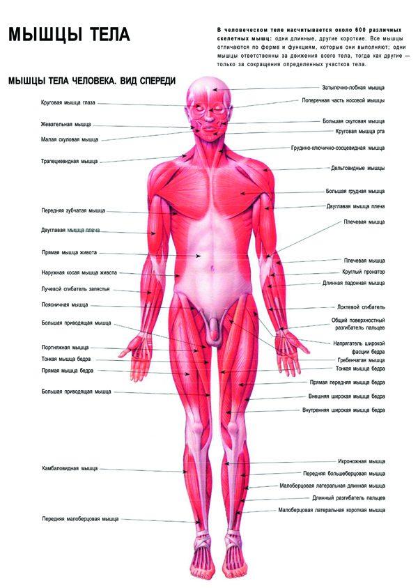Плакат мышечная система человека вид спереди (вариант 2)