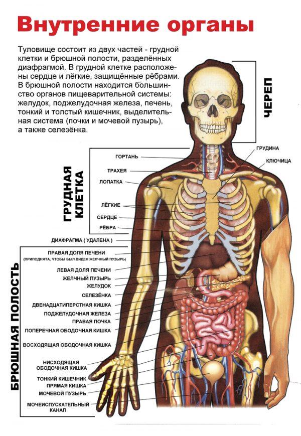 Плакат внутренние органы человека