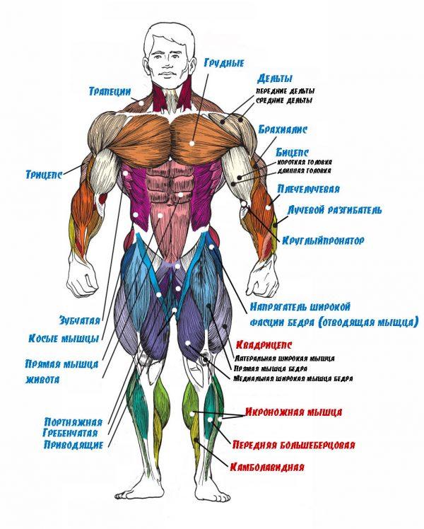Плакат группы мышц вид спереди
