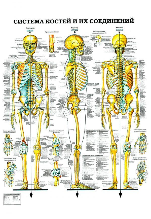 Плакат система костей и их соединений