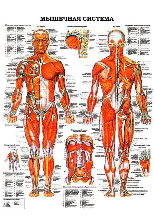 Плакат мышечная система человека общий план