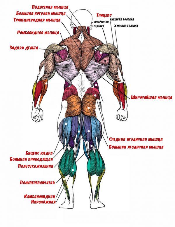 Плакат группы мышц вид сзади