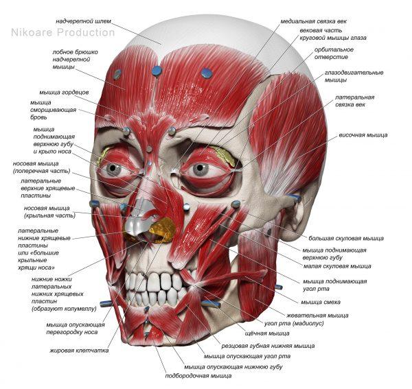 Плакат мышечная система черепа