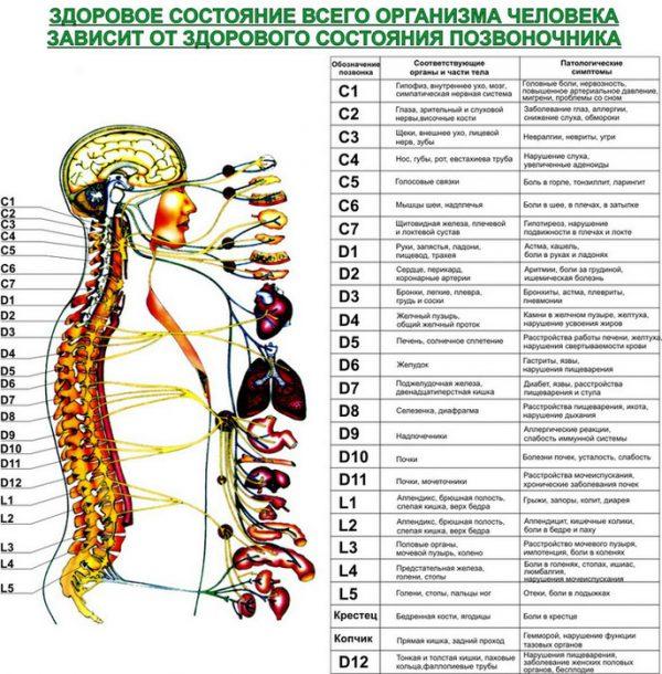 Плакат позвоночник с внутренними органами