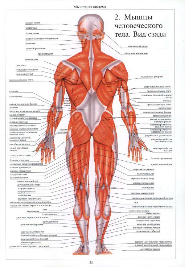 Плакат мышечная система человека вид сзади (вариант 1)