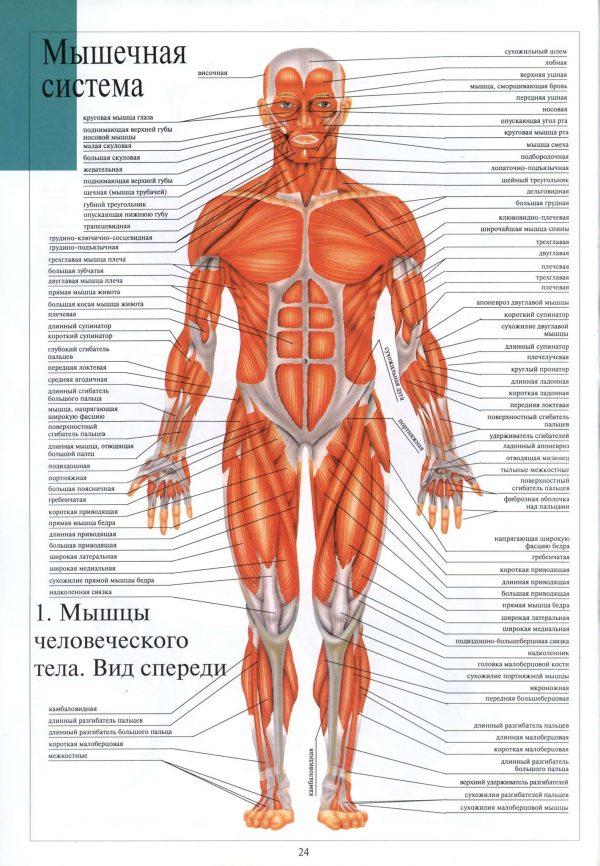 Плакат мышечная система человека вид спереди (вариант 1)