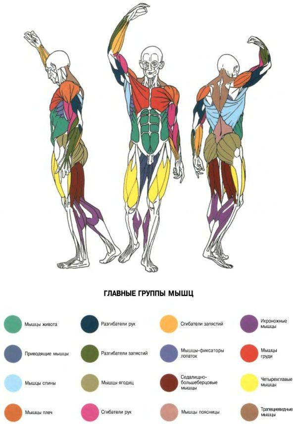Плакат группы мышц общий план