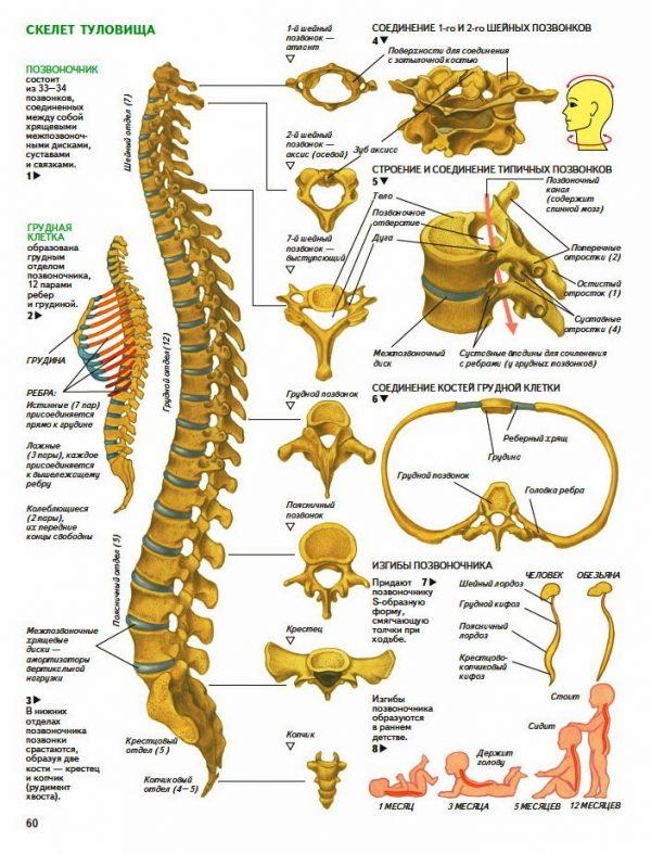 Плакат позвоночник - скелет туловища