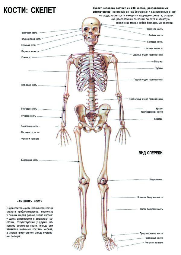 Плакат скелет (вариант 1) вид спереди