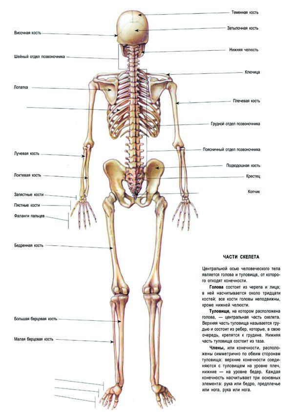Плакат скелет (вариант 1) вид сзади