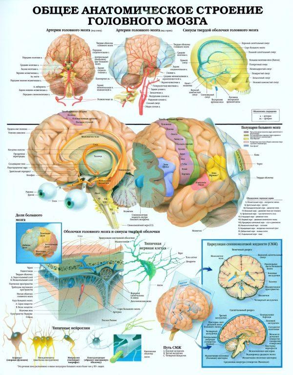 Плакат анатомическое строение головного мозга