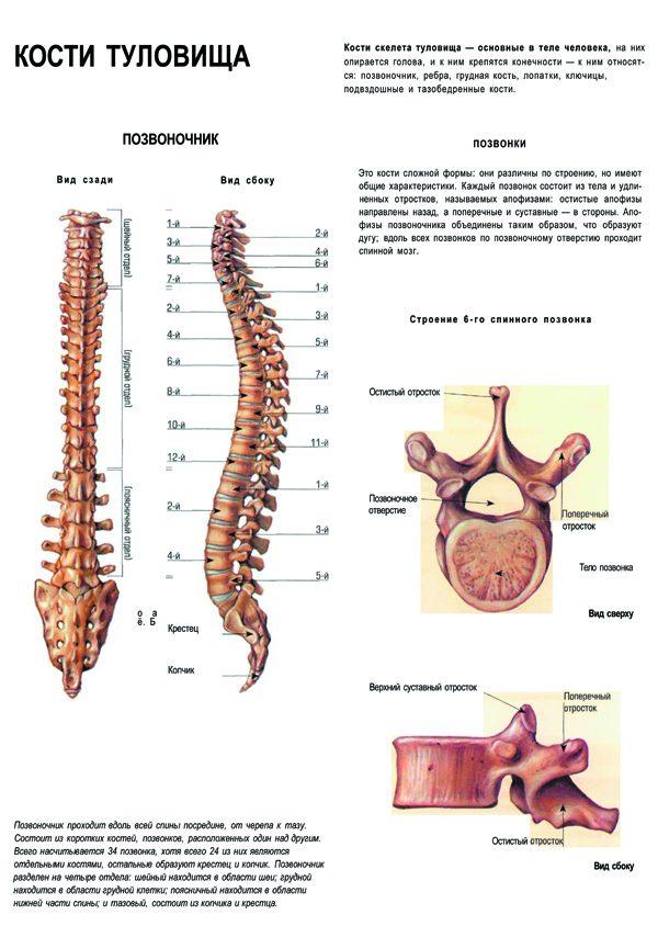 Плакат позвоночник (кости туловища)