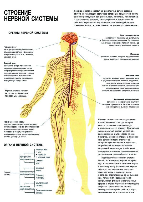 Плакат строение нервной системы