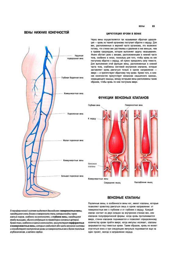 Плакат вены нижних конечностей человека