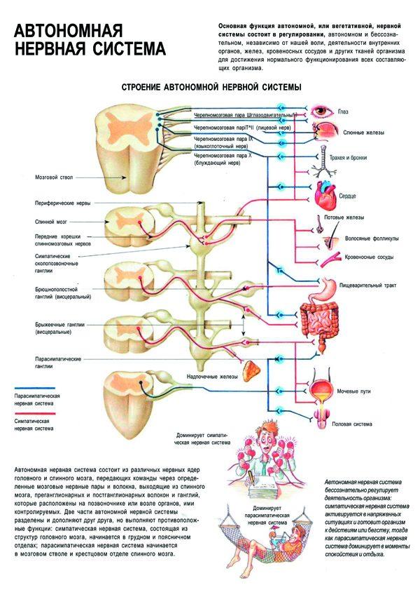 Плакат автономная нервная система человека