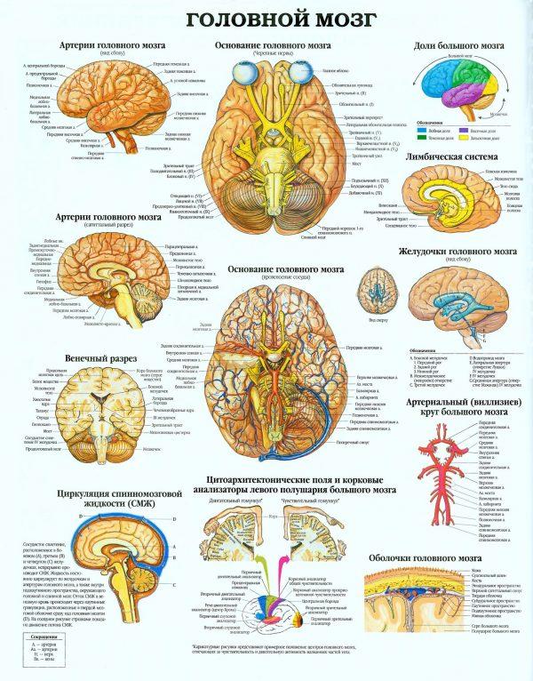 Плакат головной мозг человека