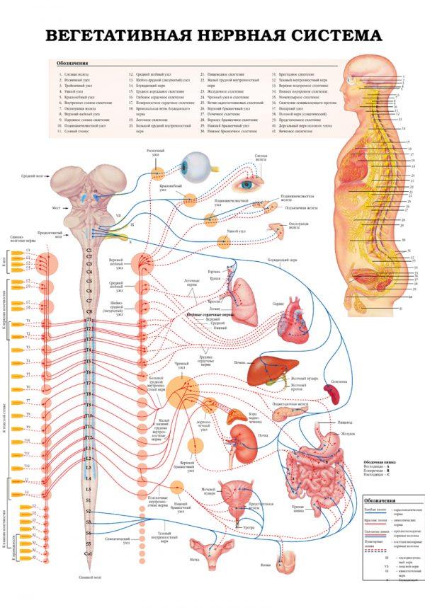 Плакат вегетативная нервная система