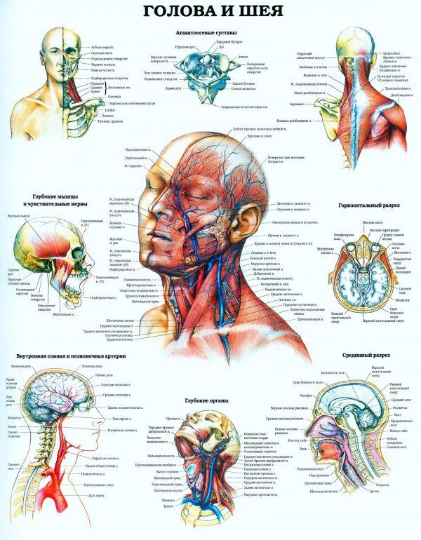Плакат голова и шея человека