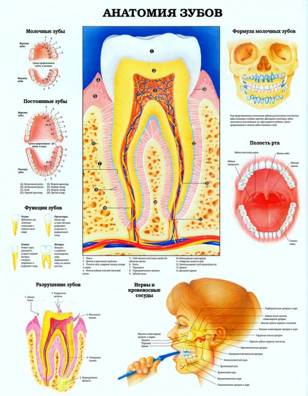 Плакат анатомия зубов человека